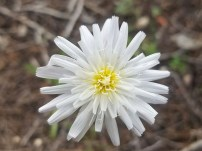 Close-up of white wildflower with yellow center.