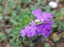 Large spider with legs outstretched on purple wildflowers waiting to catch its lunch.