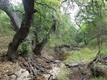 Small creek with massive tree roots growing along the banks.