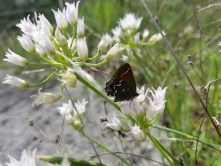 Butterfly resting on a white wildflower.