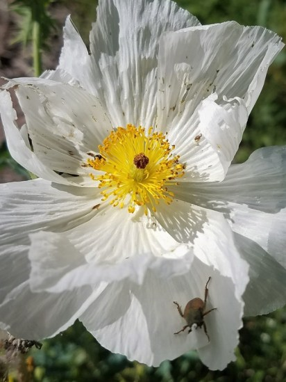 white flower with beetle