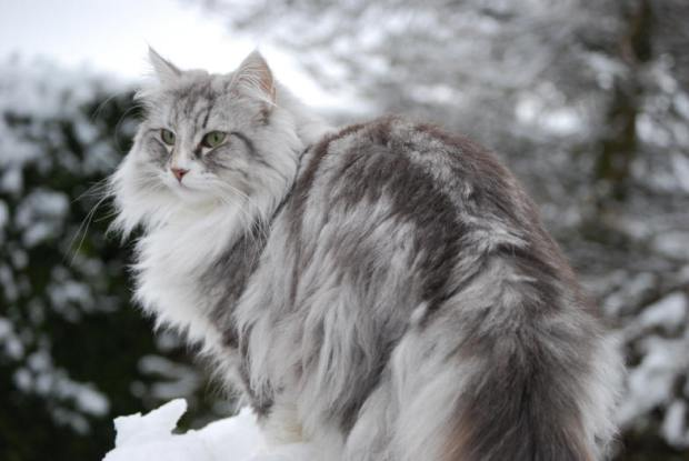 norwegian forest cat2 20 of The World's Most Expensive Cat Breeds, Costing Up To $100,000