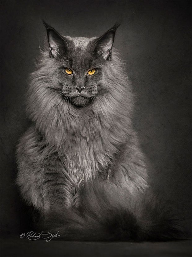 robertsijka1 Majestic Portraits of Maine Coon Cats That Become Mythical Creatures