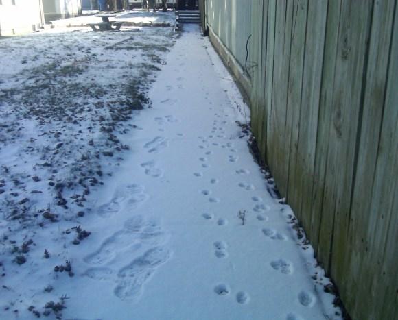 Feral cat footprints.