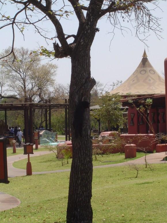 Zambian resort cat