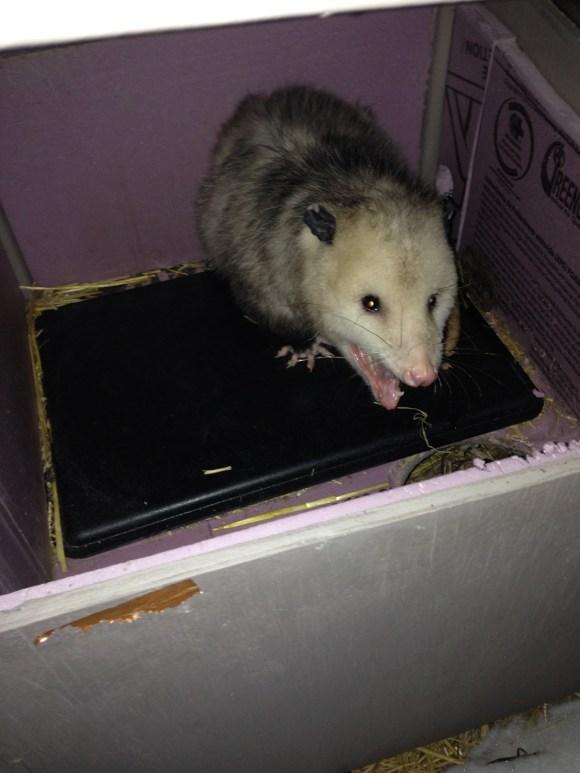 Can A Possum Beat A Cat