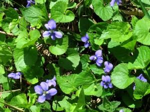 Blue violet I_hr