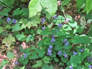 blue violets IMG_0927rcr_wg