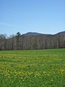 Dry Brook Valley dandelions IMG_3089rcr_wg