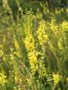 Yellow Sweet Clover -LK