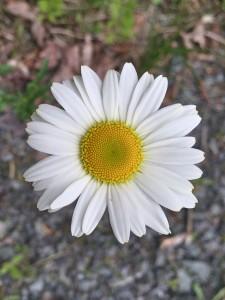 Oxeye Daisy -LK