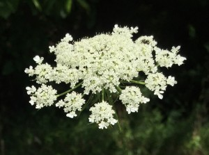 Queen Anne's Lace -LK