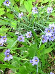 IMG_0940 Blue-eyed Grass -WG