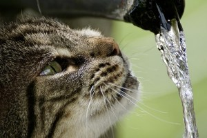 Cat drinking from tap water