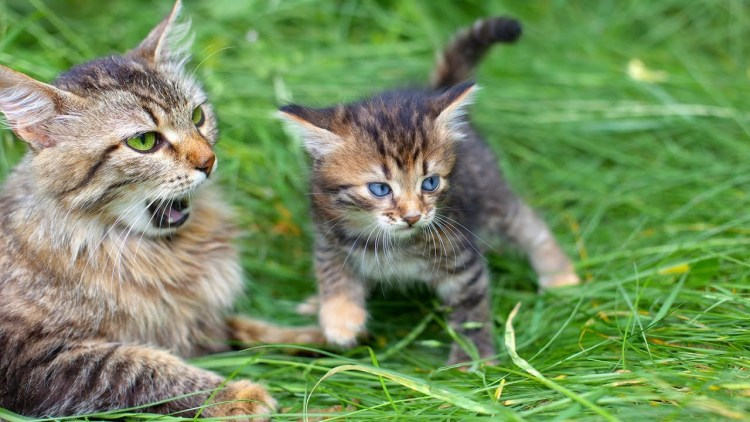 flat face cats