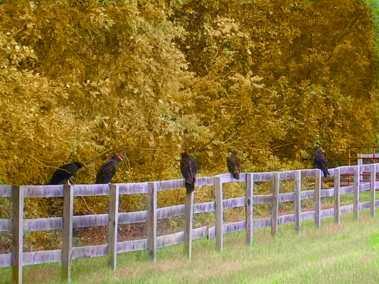 buzzard line up-1 Fall