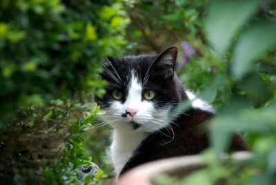 German tuxedo cat
