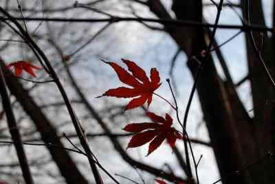 last maple leaves