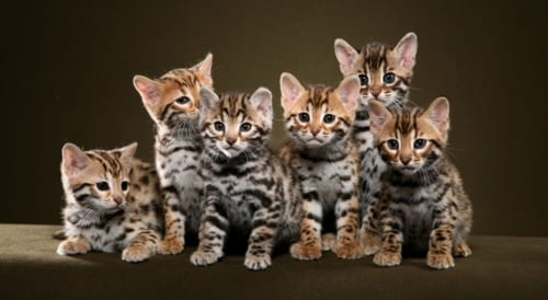 bengal-kittens
