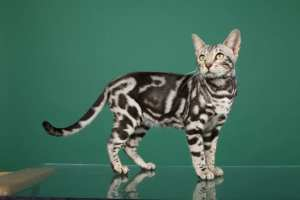 Silver version of the Bengal marble cat