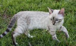 Snow lynx bengal cat type