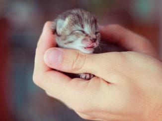 Bayi Kucing Siam