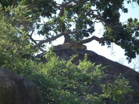 The secretive leopard.