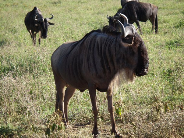 Wildebeest in Serengeti.