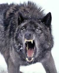 Resultado de imagen para lobo atacando