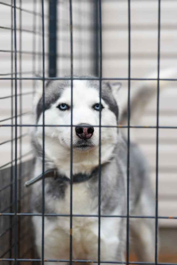 white and black siberian husky in cage
