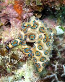 Blue-ringed Octopus (Photograph: Jens Petersen)