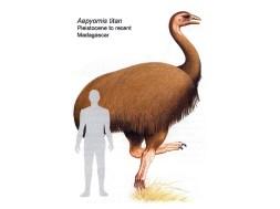aepyornis elephant bird megafauna madagascar