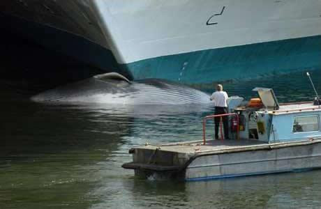 sapphire_princess_cruise_ship_vancouver whale collision