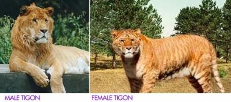 tigon