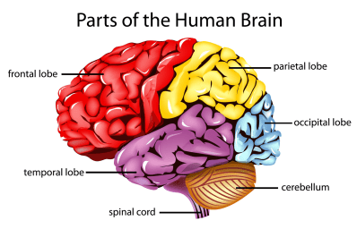 parts-of-the-brain
