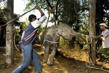 crush-elephant-torture