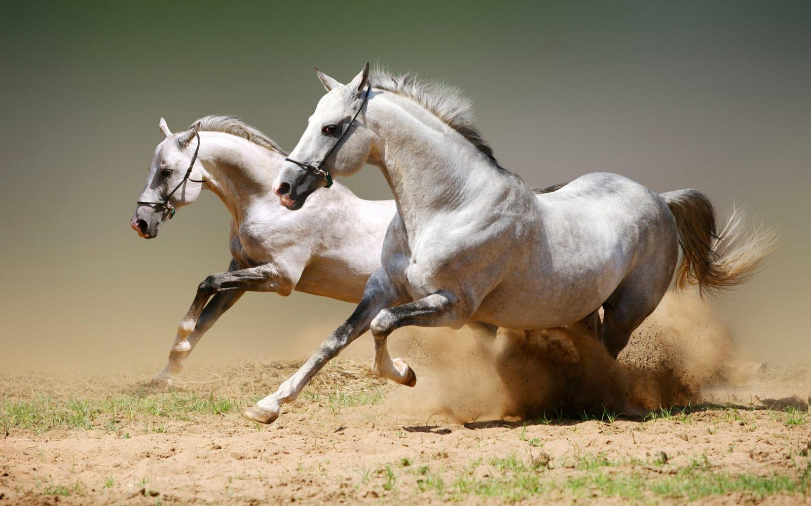 https://i2.wp.com/cavalos.animais.info/Imagens/cavalos-arabe.jpg