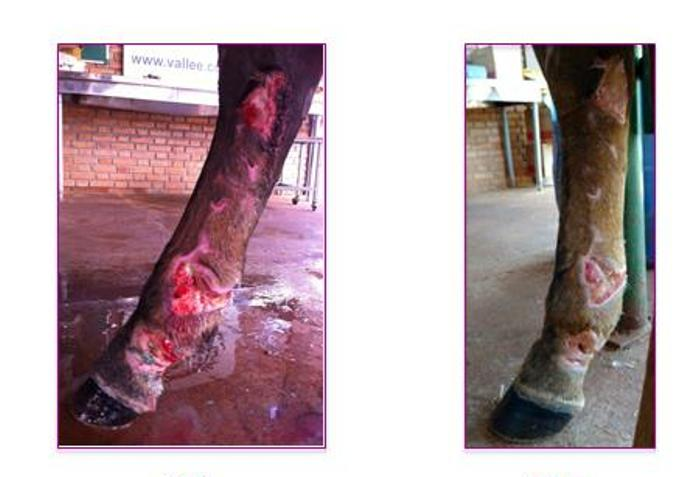 tratamento das doenças infecciosas em equinos