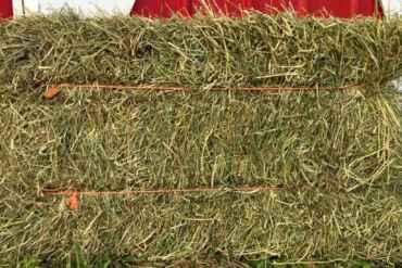 Conheça os dois erros comuns sobre a alfafa Hay