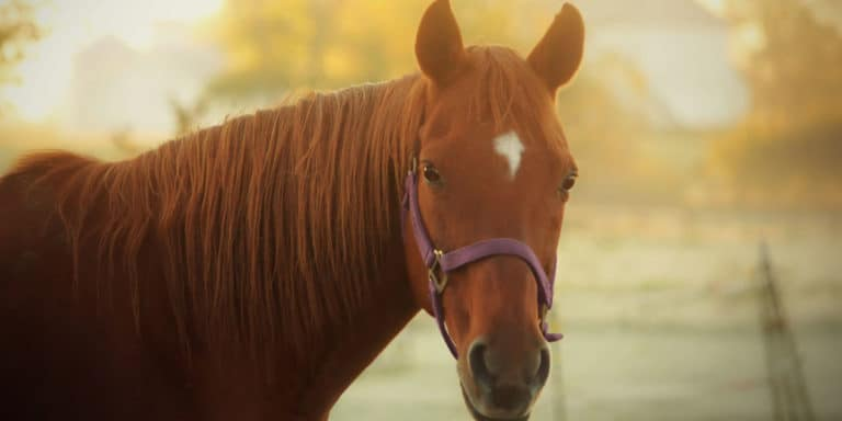 O cavalo de corrida aposentado: puro-sangue no mundo ocidental