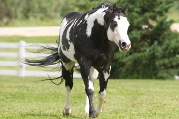 Pait Horse Imagem: Divulgação/APHA