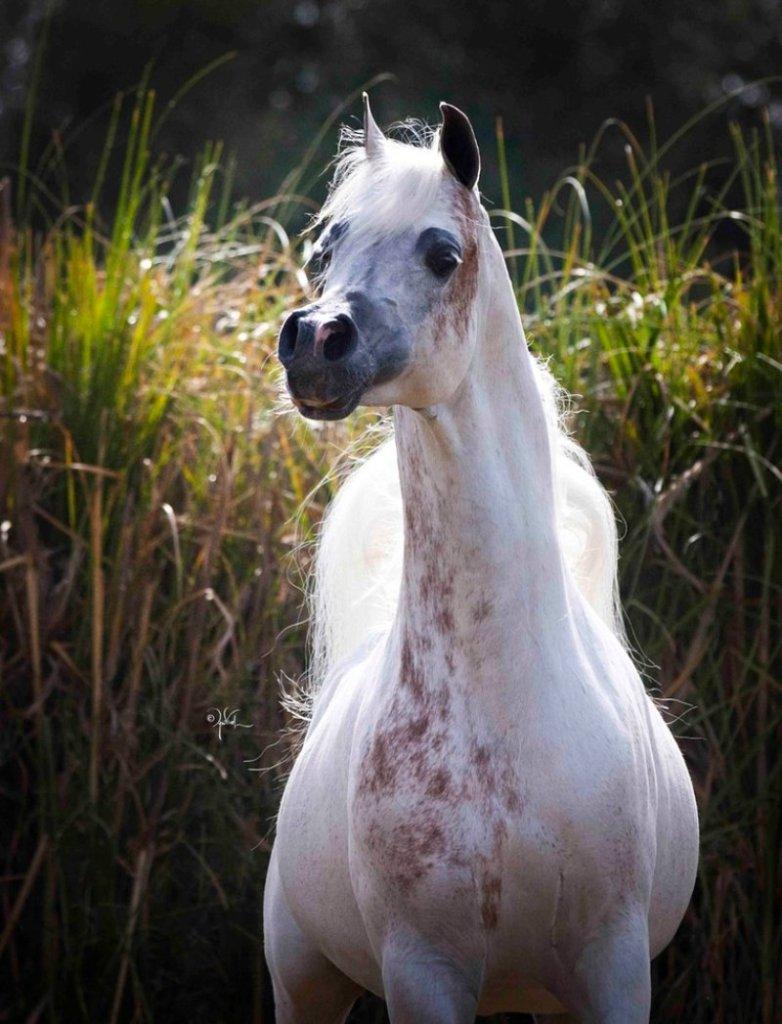 Você conhece a lenda da marca de sangue no cavalo Árabe? - Cavalus