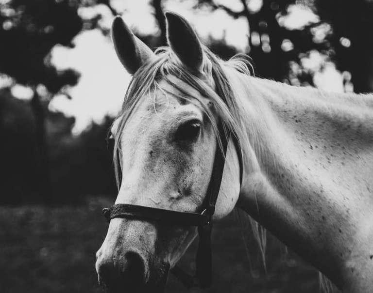 Audição: o segundo sentido dos cavalos mais desenvolvido depois da visão