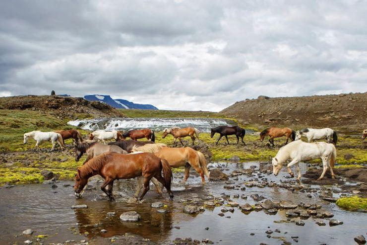 Cavalgadas e Tradições Equestres com Cavalos Marchadores Paulo Junqueira fala em sua coluna da semana da cavalgadas e das tradições equestres com cavalos marchadores na Islândia