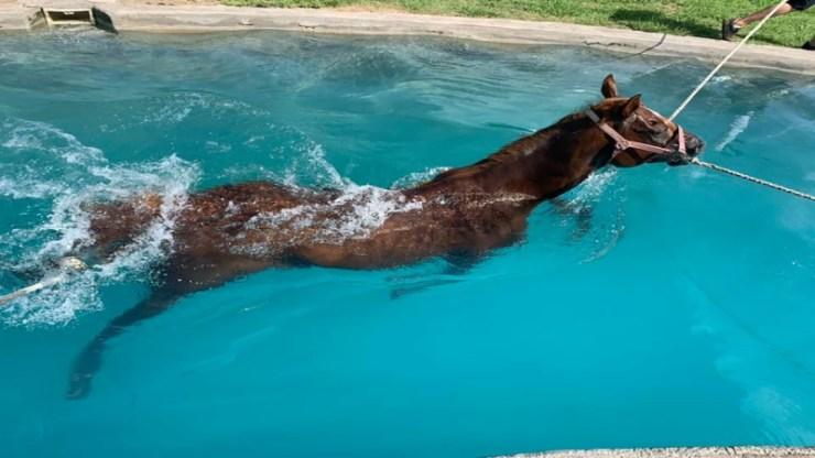 A natação para cavalos vem se apresentando como uma prática cada vez mais comum, no intuito de aumentar a longevidade da carreira dos cavalos