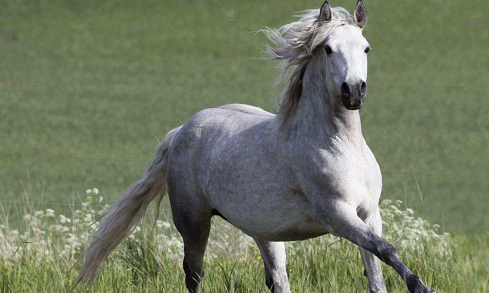 Connemara Pony é uma raça de pôneis originária da Irlanda