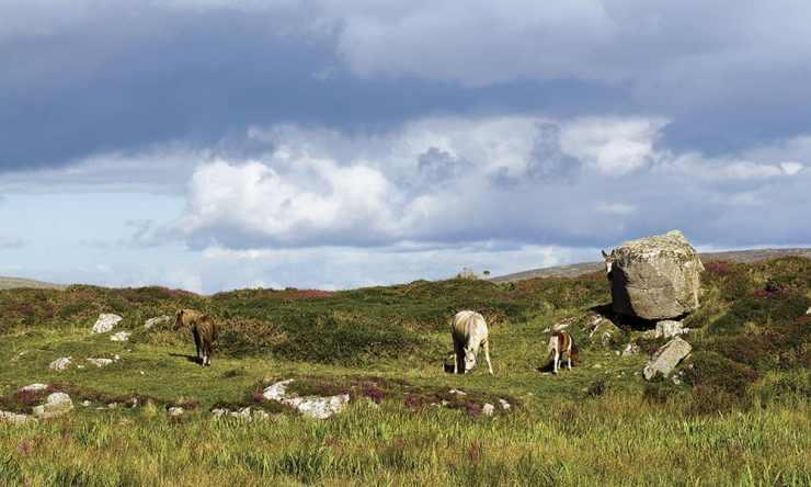 Connemara Pony é uma raça de cavalos atraentes, encantadores e amigáveis quanto a própria Ilha Esmeralda na Irlanda onde surgiram