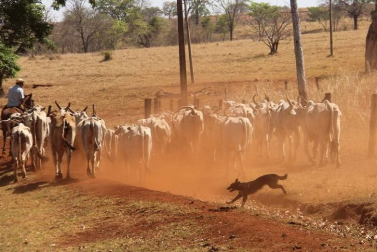 Algumas características dos cães de pastoreio que são extremamente proveitosas no trabalho da lida dos cavalos com um rebanho