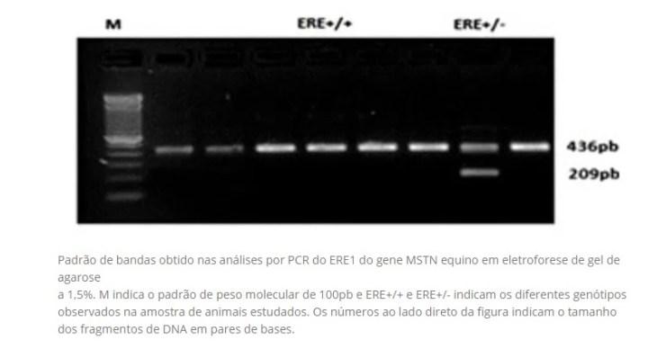 O estudo relatado teve como objetivo falar sobre o ERE1 do gene da miostatina (MSTN) em cavalos da raça Quarto de Milha de Corrida