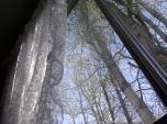 poplar trees, early morning sunshine, 530 am, window